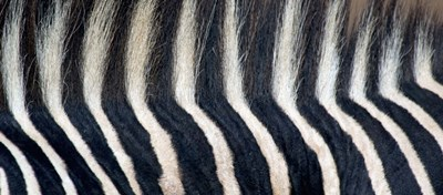 Close-up of a Greveys zebra stripes and mane Poster by Panoramic Images for $71.25 CAD