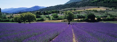 Lavender Field, Provence, France Poster by Panoramic Images for $86.25 CAD