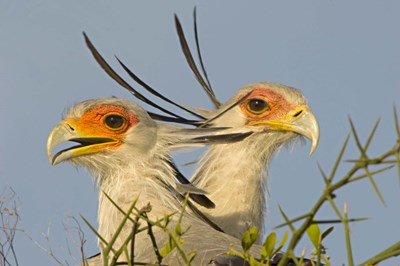 Close-up of two Secretary birds, Ngorongoro Conservation Area, Arusha Region, Tanzania (Sagittarius serpentarius) Poster by Panoramic Images for $56.25 CAD