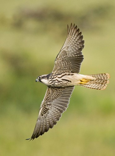 Close-up of a Lanner falcon flying, Lake Manyara, Arusha Region, Tanzania (Falco biarmicus) Poster by Panoramic Images for $90.00 CAD