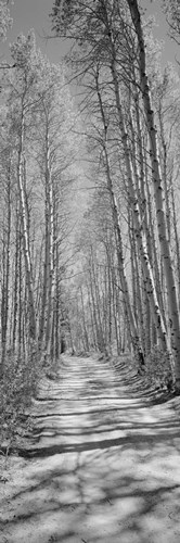 Trees along a road, Log Cabin Gold Mine, Eastern Sierra, Californian Sierra Nevada, California (black and white) Poster by Panoramic Images for $71.25 CAD