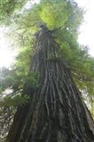 Low-Angle View Of Redwood Tree