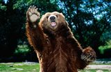 Grizzly Bear On Hind Legs