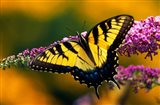 Male Tiger Swallowtail Butterfly