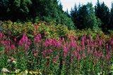 Pink Fireweed Wildflowers, Alaska