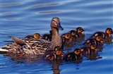 Female Mallard Duck with Chicks, Ohio