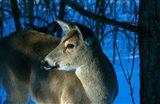Deer Doe in Snowy Woods