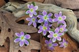 Hepatica Flowers, Michigan