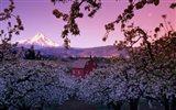 Apple Trees in Oregon
