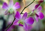 Cattleya Orchid Flower Blossoms