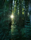 Low angle view of sunstar through redwood trees, Jedediah Smith Redwoods State Park, California, USA.