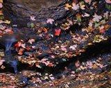 Maple and Arizona White Oak Leaves, Tonto National Forest, Arizona