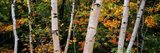Birch trees in a forest, New Hampshire, USA