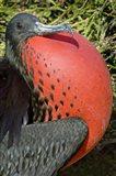 Close-up of a Magnificent Frigatebird (Fregata magnificens), Galapagos Islands, Ecuador