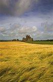 Cistercian Dunbrody Abbey (1182) beyond Barley Field, County Wexford, Ireland