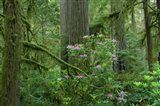 Redwood trees and Rhododendron flowers in a forest, Jedediah Smith Redwoods State Park, Crescent City, California