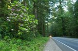 Redwood trees and Rhododendron flowers in a forest, U.S. Route 199, Del Norte County, California, USA