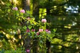 Rhododendron flowers in a forest, Del Norte Coast Redwoods State Park, Del Norte County, California, USA
