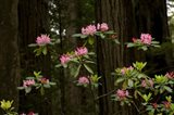 Rhododendron Flowers and Redwood Trees in a Forest, Del Norte Coast Redwoods State Park, Del Norte County, California, USA