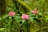 Rhododendron flowers in a forest, Jedediah Smith Redwoods State Park, Crescent City, Del Norte County, California, USA