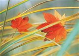 Two fall orange fall leaves amid yellow reeds with out of focus green background