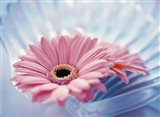 Close up of two pink gerbera daisies in water ripples