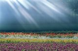 Field of multicolored flowers with streaks of white light rays