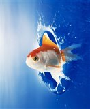 Orange, yellow and white fish flying through water splash