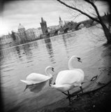 Two swans in a river, Vltava River, Prague, Czech Republic