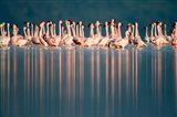 Flamingo Reflections in a lake, Lake Nakuru, Lake Nakuru National Park, Kenya