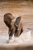 African elephant (Loxodonta africana) playing with water, Samburu National Park, Rift Valley Province, Kenya