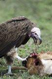 Lappet-Faced vulture (Torgos tracheliotus) eating a wildebeest calf, Masai Mara National Reserve, Kenya