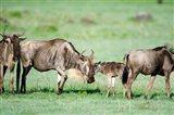 Wildebeest, Ndutu, Ngorongoro, Tanzania