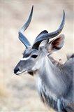 Greater Kudu (Tragelaphus strepsiceros) in a forest, Samburu National Park, Rift Valley Province, Kenya