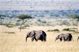 African elephants (Loxodonta africana) walking in plains, Masai Mara National Reserve, Kenya