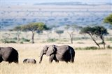 African elephant (Loxodonta africana) with its calf walking in plains, Masai Mara National Reserve, Kenya