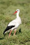 White stork (Ciconia ciconia) in a field, Ngorongoro Crater, Ngorongoro, Tanzania