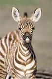 Close-up of a Burchell's zebra foal (Equus burchelli), Ngorongoro Crater, Ngorongoro, Tanzania