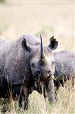 Black rhinoceros (Diceros bicornis) standing in a field, Masai Mara National Reserve, Kenya