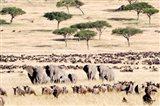 Wildebeests with African elephants (Loxodonta africana) in a field, Masai Mara National Reserve, Kenya