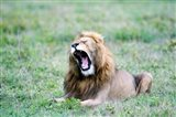 Lion (Panthera leo) yawning in a field, Ngorongoro Crater, Ngorongoro, Tanzania