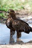 Tawny Eagle, Ndutu, Ngorongoro, Tanzania