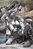 Herd of wildebeests crossing a river, Mara River, Masai Mara National Reserve, Kenya