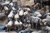 Wildebeests, Masai Mara National Reserve, Kenya