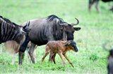 Newborn Wildebeest Calf with its Parents, Ndutu, Ngorongoro, Tanzania