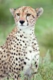 Close-up of a female cheetah (Acinonyx jubatus) in a forest, Ndutu, Ngorongoro, Tanzania