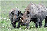 Black rhinoceros (Diceros bicornis) in a field, Ngorongoro Crater, Ngorongoro, Tanzania