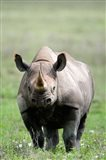 Black rhinoceros (Diceros bicornis) standing in a field, Ngorongoro Crater, Ngorongoro, Tanzania