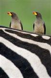Yellow-Billed oxpeckers (Buphagus africanus) on top of a zebra, Ngorongoro Crater, Ngorongoro, Tanzania