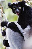 Close-up of an Indri lemur (Indri indri), Andasibe-Mantadia National Park, Madagascar